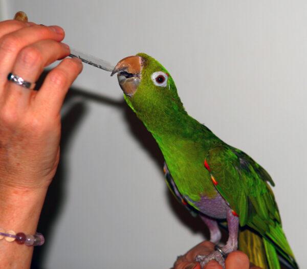 Using liquid DMG with parrots.