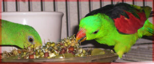 parrots eating BBFE! sprouts feed parrots spinach