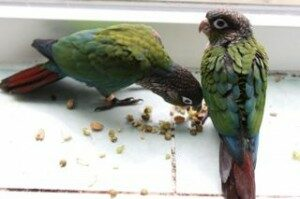 Pearly Conures