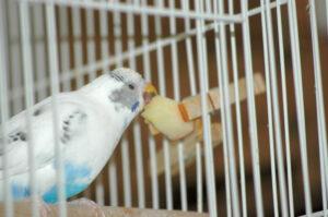 Budgie enjoys apple.