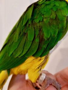 Feather damage caused by malnutrition.